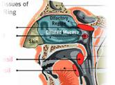 nasal-cavity-anatomy-callout